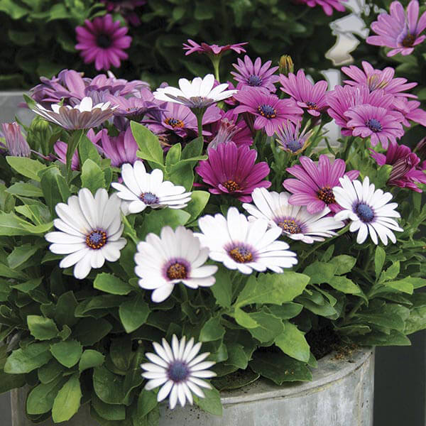 Osteospermum - Flowering plants