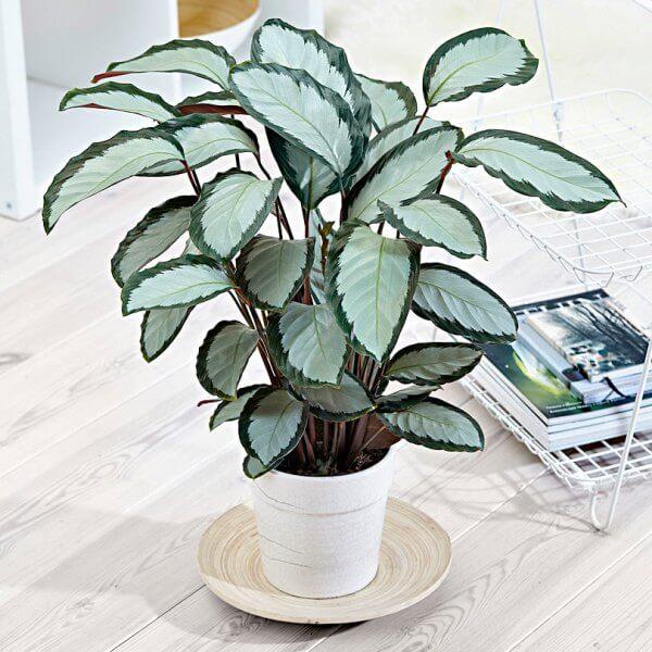 Calathea picturata 'Argentea' - Indoor Plants