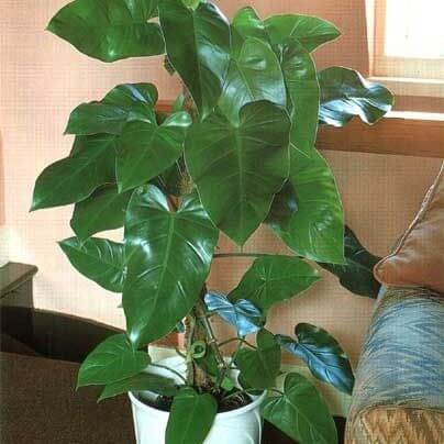 Elephant ear philodendron - Indoor Plants