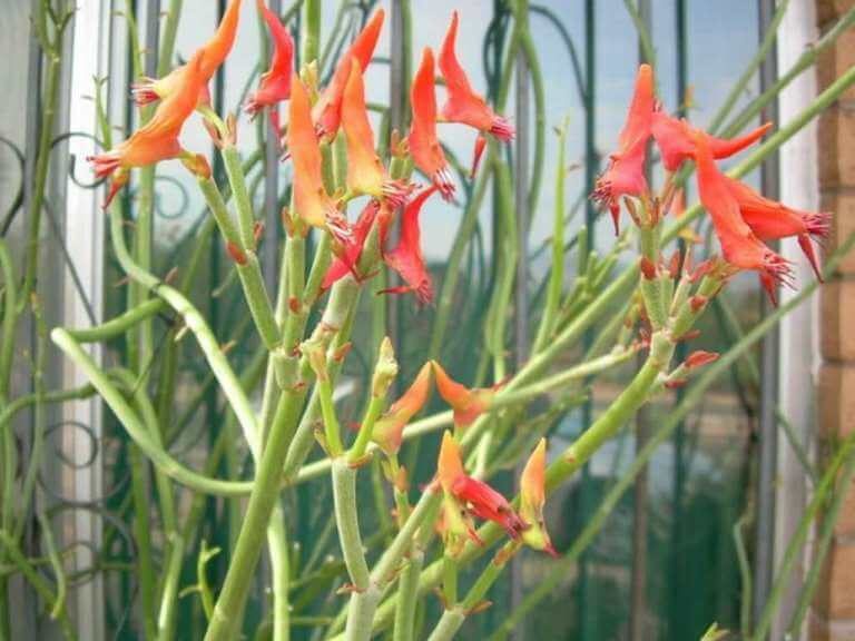 Slipper Plant (Euphorbia lomelii) - Succulent plants