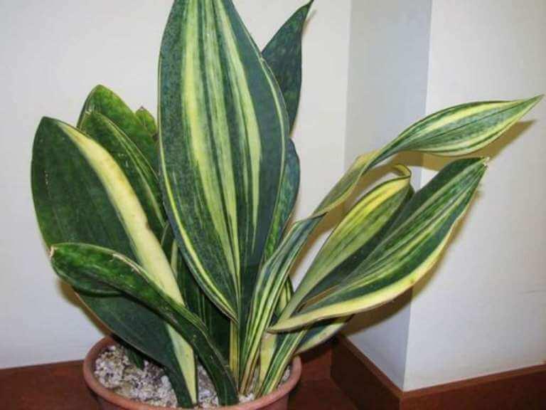 Sansevieria masoniana f. variegata - House Plants