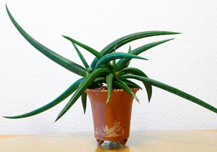 Sansevieria patens (Snake Plant) - Succulent plants
