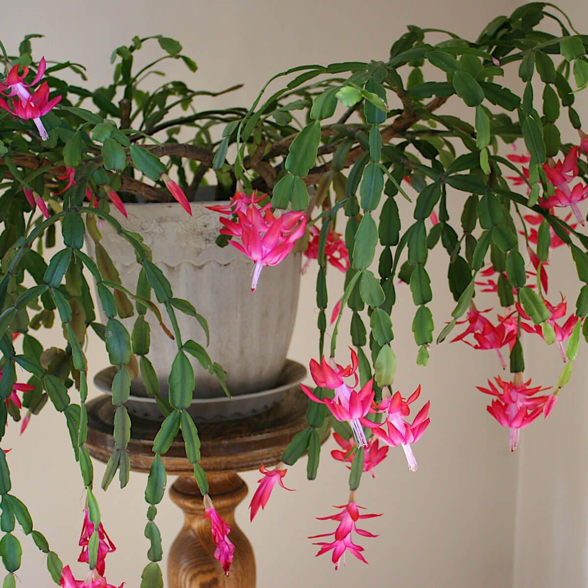 Schlumbergera x buckleyi - Christmas Cactus