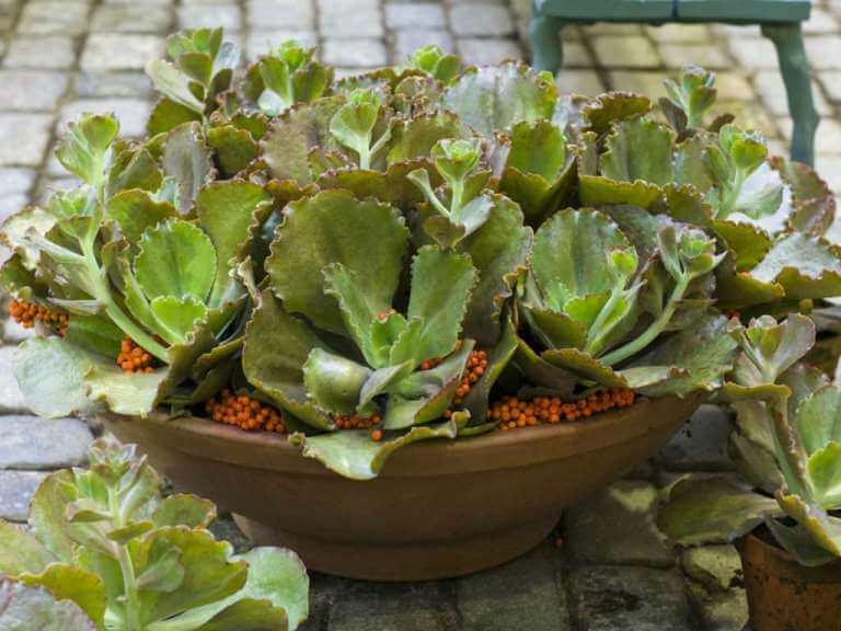 Echeveria crenulata - Succulent plants