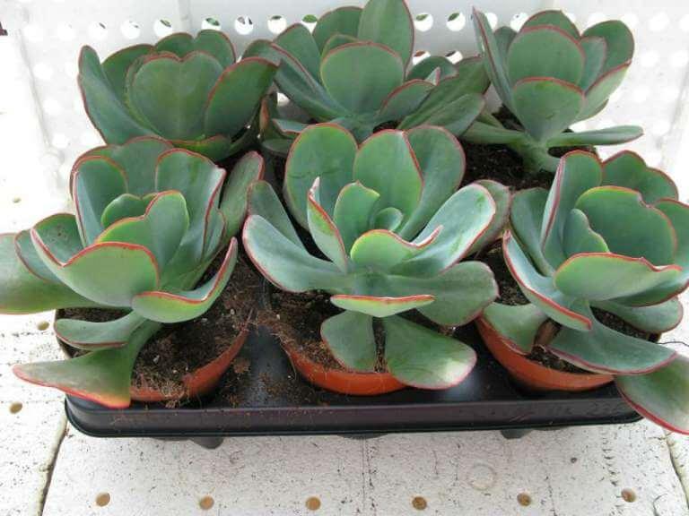 Echeveria gigantea - Succulent plants