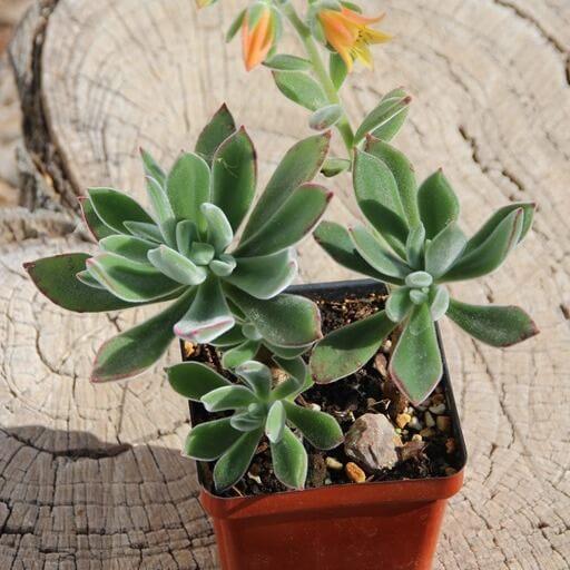 Plush Plant (Echeveria harmsii) - Succulent plants