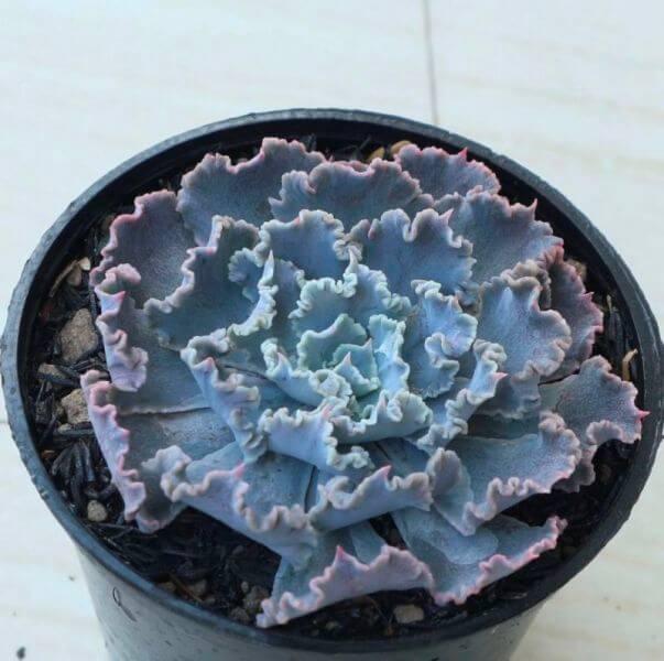 Echeveria shaviana 'Truffles' - Succulent plants