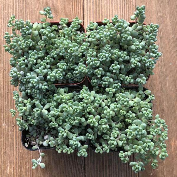 Sedum dasyphyllum (Corsican Stonecrop) - Succulent plants