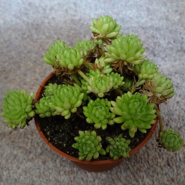 Sedum hirsutum (Hairy Stonecrop) - Succulent plants