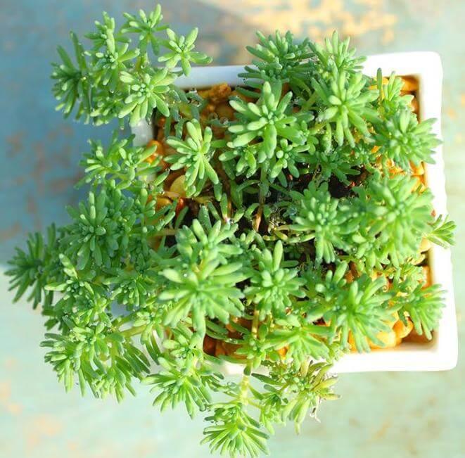 Sedum hispanicum (Spanish Stonecrop) - Succulent plants