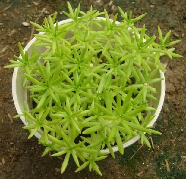 Sedum lineare (Needle Stonecrop) - Succulent plants