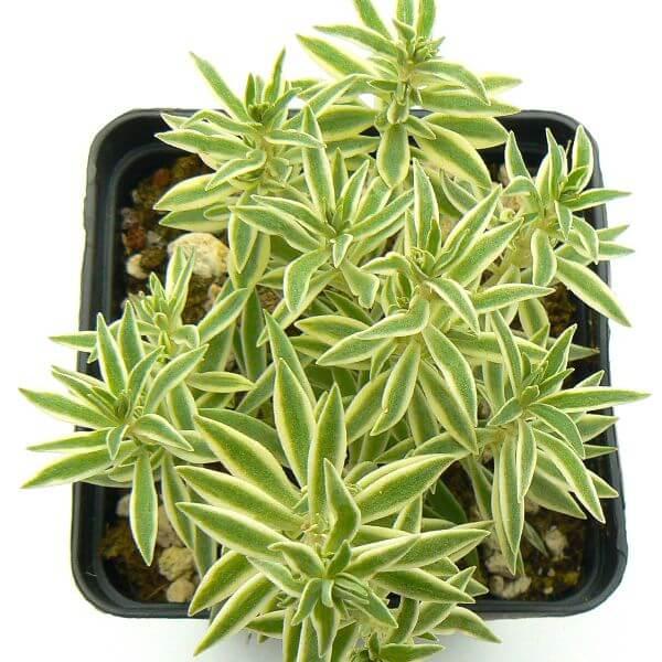 Sedum lineare 'Variegatum' - Succulent plants