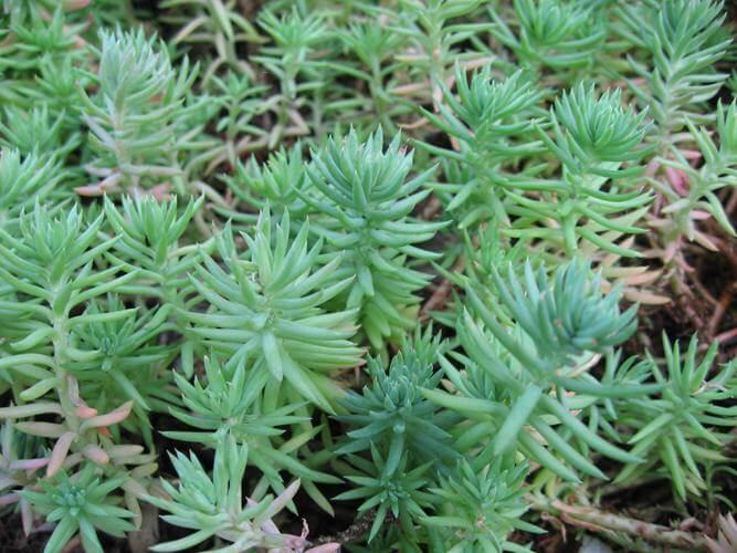 Sedum rupestre (Reflexed Stonecrop) - Succulent plants