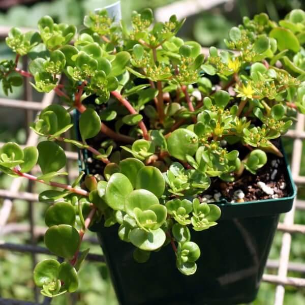 Chinese Sedum (Sedum tetractinum) - Succulent plants