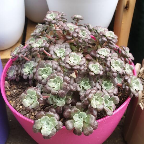 Sedum spathulifolium 'Purpureum' - Succulent plants