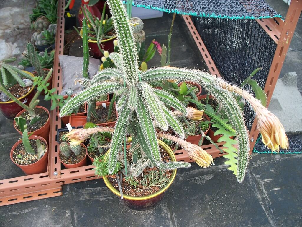 Selenicereus validus - Cactus Plants