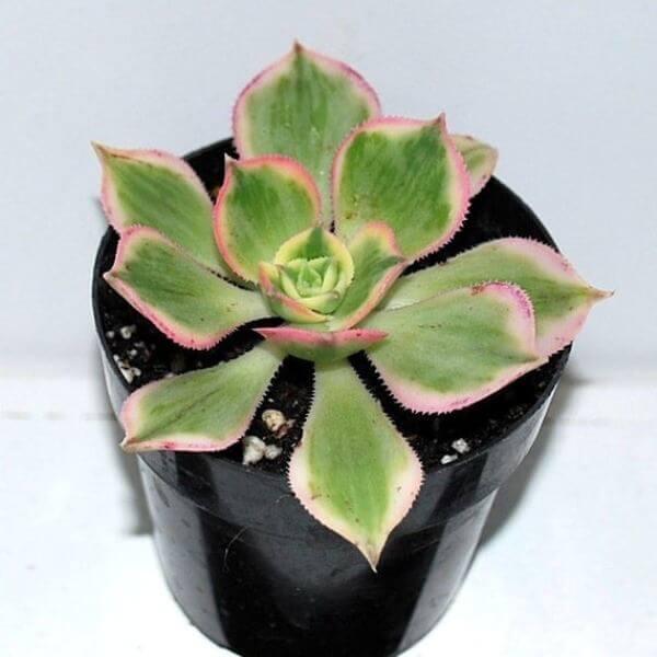 Aeonium 'Sunburst' (Copper Pinwheel) - Succulent plants