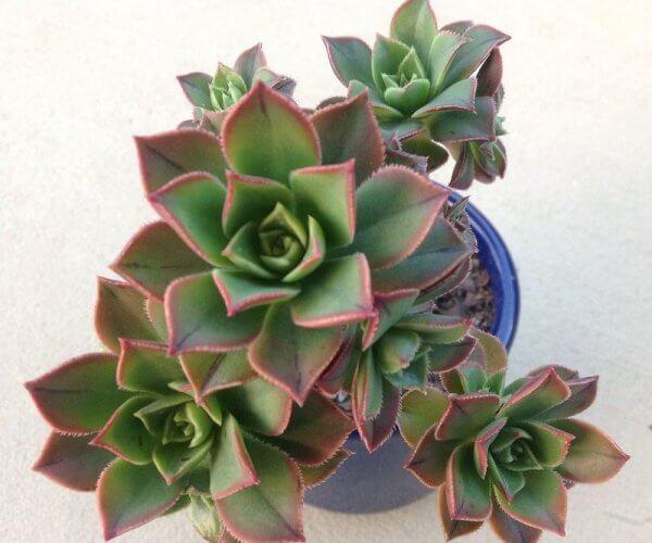 Pinwheel (Aeonium haworthii) - Succulent plants
