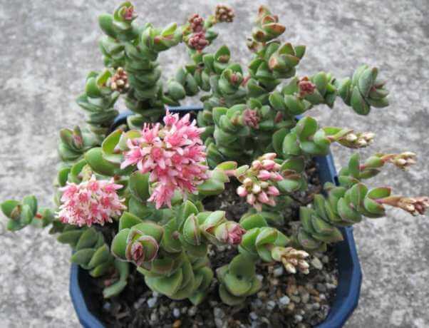 Crassula 'Jade Tower' - Succulent plants