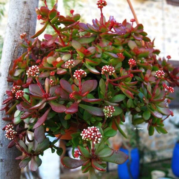 Crassula atropurpurea var. anomala - Succulent plants