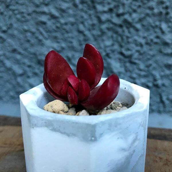 Crassula clavata - Succulent plants