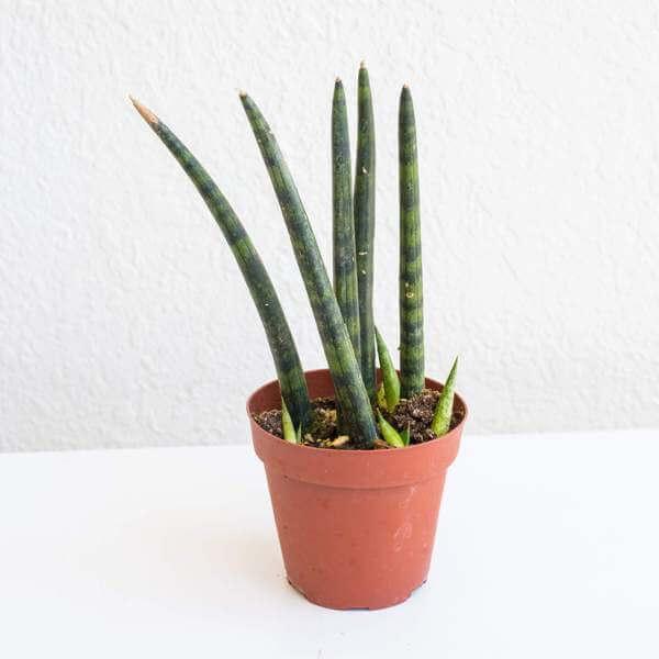 Cylindrical snake plant (Dracaena angolensis) - Indoor Plants