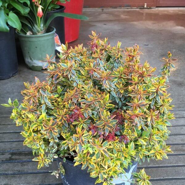 Abelia 'Twist of Orange'- Flowering plants