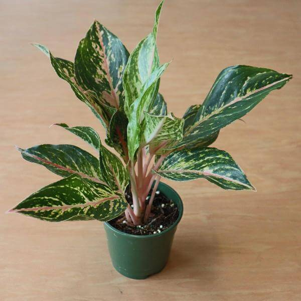 Aglaonema Two Tone Moonstone - Indoor House Plants