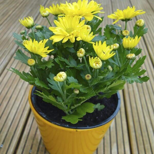 Mums (Chrysanthemum indicum) - Air purifying plants