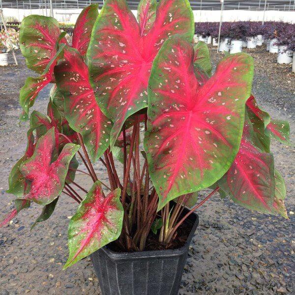 Caladium 'Red Flash' - Foliage Plants