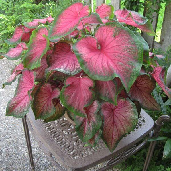 Caladium bicolor 'Florida Beauty' - Foliage Plants