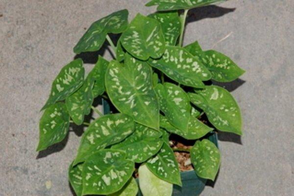 Caladium steudneriifolium - Foliage Plants