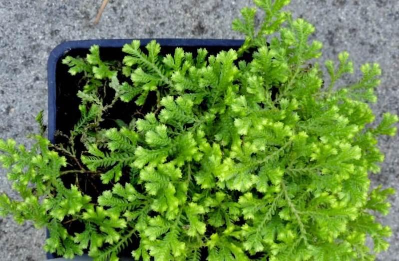 Golden clubmoss - Indoor Plants