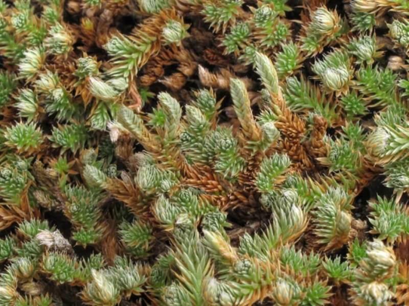 Selaginella peruviana 'Burnet' - Indoor Plants