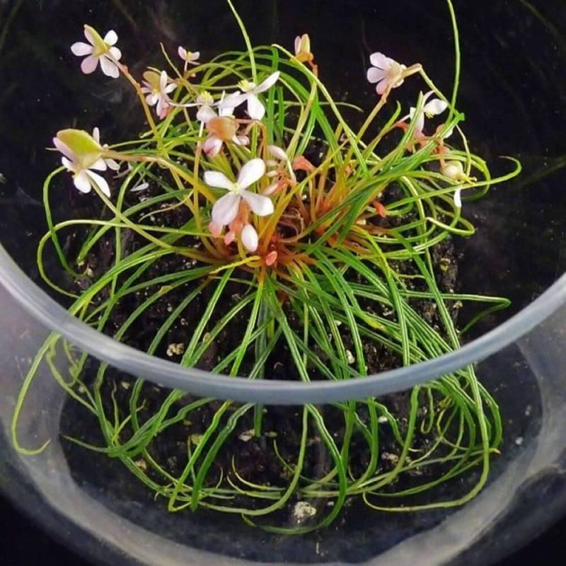 Begonia bogneri
