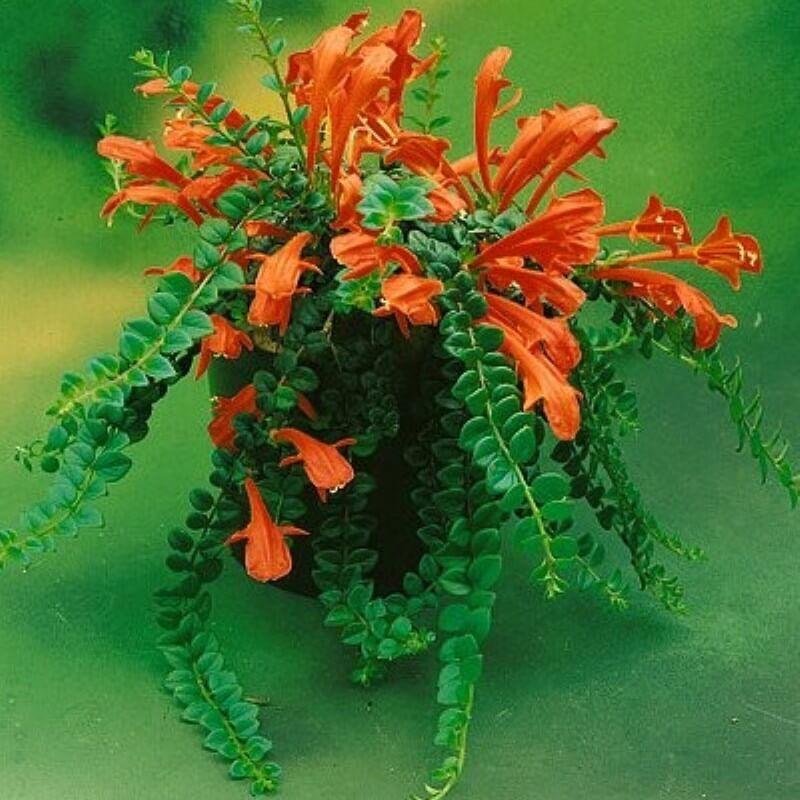 Columnea microphylla (Goldfish Plants)