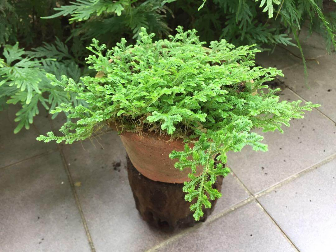 Selaginella stauntoniana - Indoor Plants