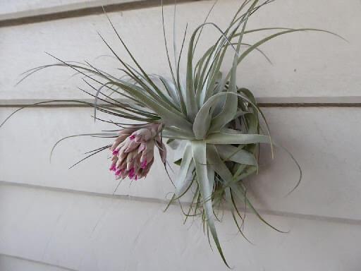 Tillandsia gardneri - Flowering plants