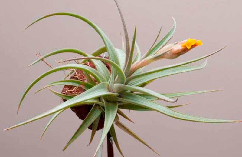 Tillandsia ixioides - Flowering plants