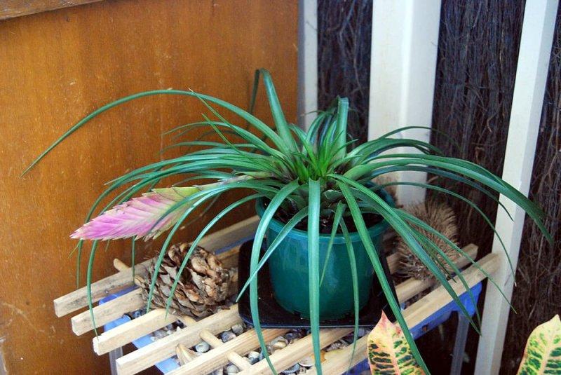 Tillandsia lindenii - Flowering plants