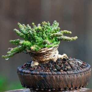 Euphorbia albipollinifera - Succulent plants