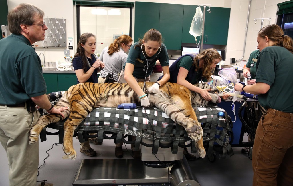 Uc davis veterinary surgeons prepare to operate on an ailing tiger in