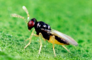 Tamarixia radiata, a tiny stingless wasp utilized the Asian citrus psyllid program