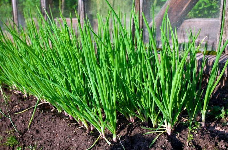 How To Grow Green Onions 3 Ways To Grow Green Onions Plant Instructions