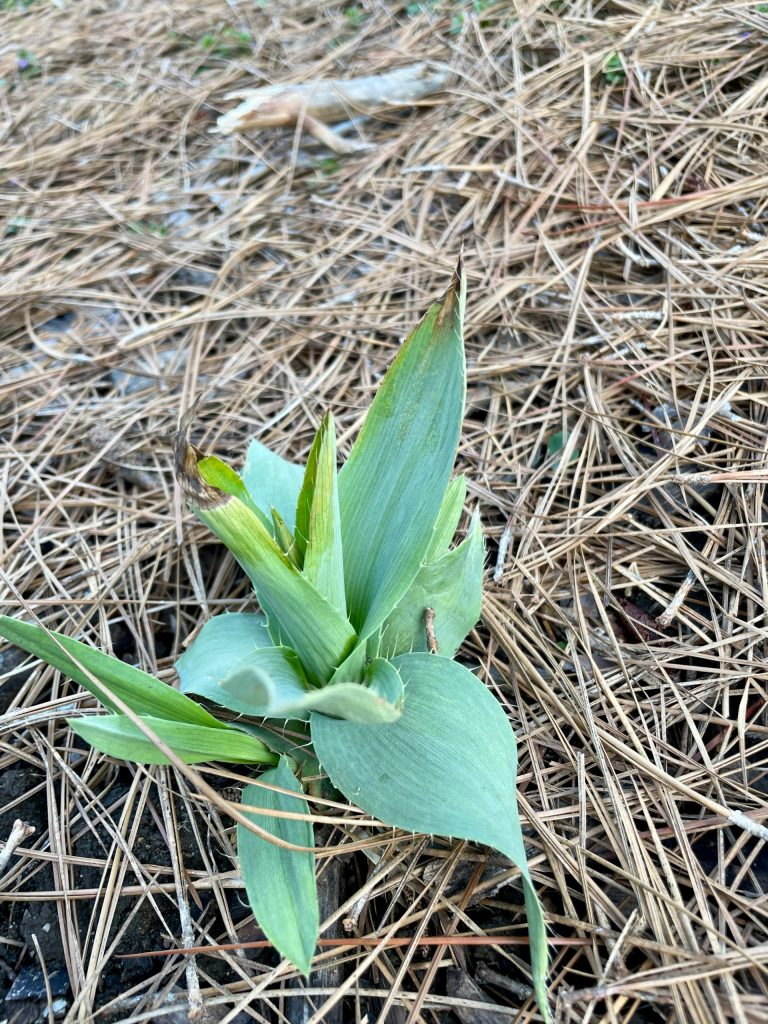 Eryngium yuccifolium (2)