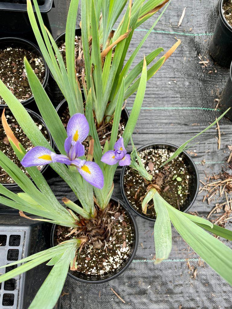 Iris versicolor (3)
