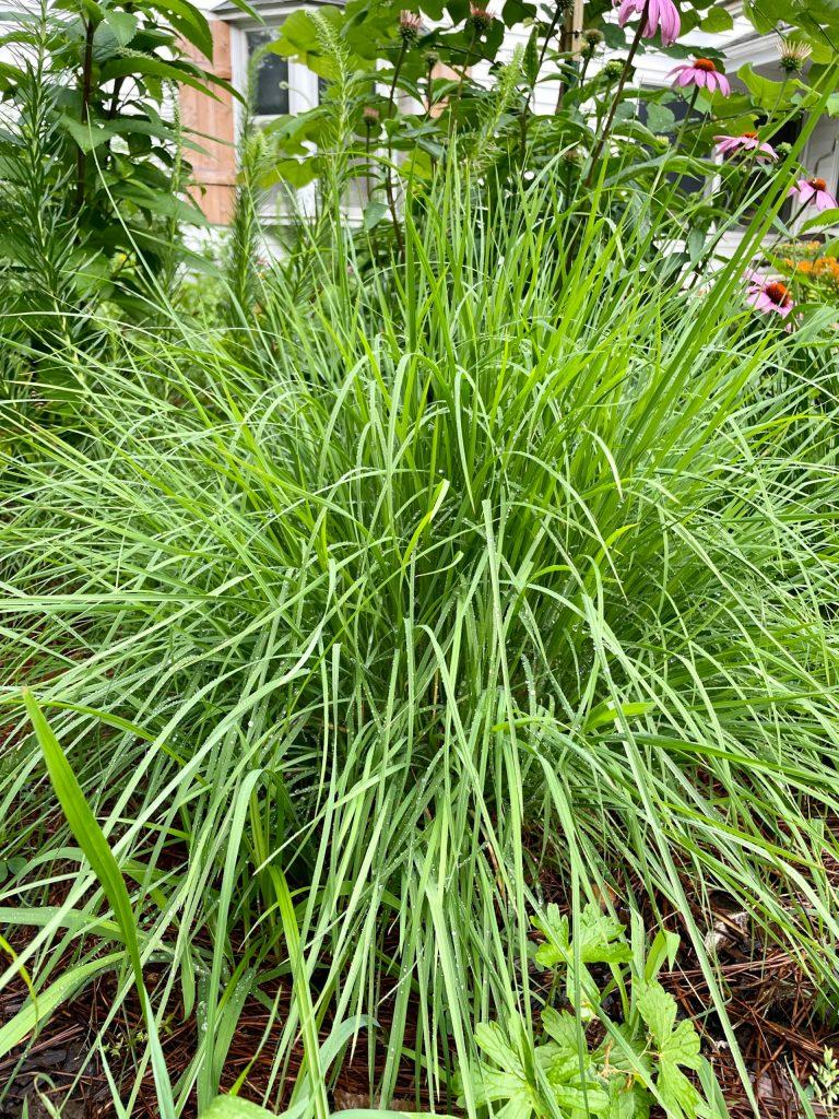 Schizachyrium scoparium (3)