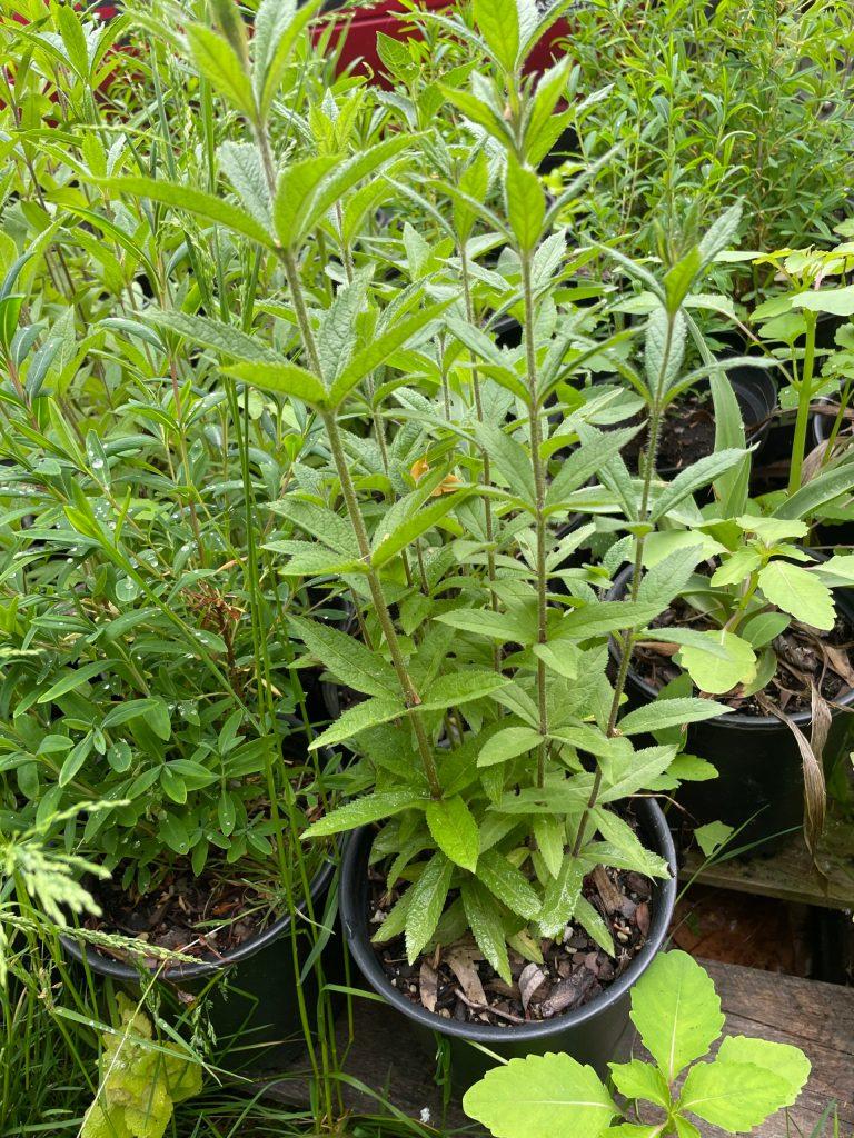 Veronicastrum virginicum (4)