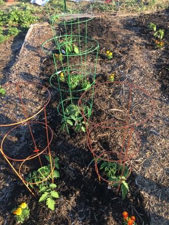 4 varieties of heirloom tomatoes