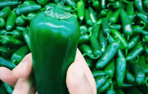 JALAPENOS PEPPERS